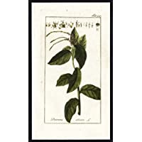 Flora antiguo ThePrintsCollector cruzerlite-Petiveria Alliacea-Guinea Henweed-anamú-Zorn-1796