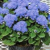 Dwarf Blue Bedder Ageratum Houstonianum Flower 100 Seeds