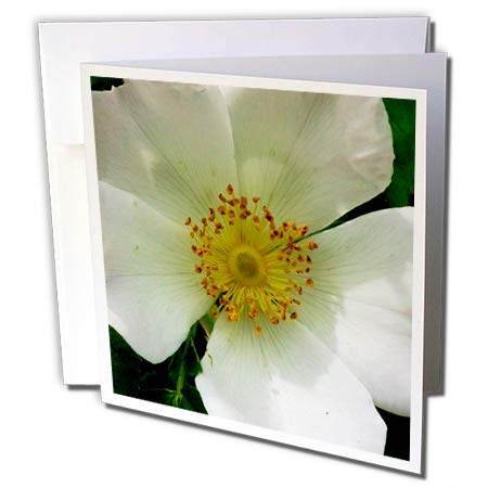 3dRose Russ Billington Photography - Image of Wild White Rose - 6 Greeting Cards with envelopes (gc_293802_1)