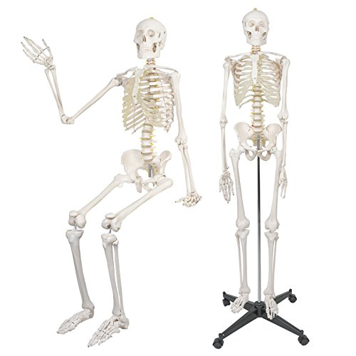 """F2C 180cm/70.8"""" Life Size Human Anatomical Anatomy Medical Skeleton Model with Rolling Stand Halloween Decor Decorations"""