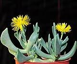Rhombophyllum Dolabriforme, mesembs living stone exotic succulent seed 15 SEEDS