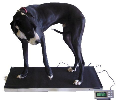 700 LB x 0.2 LB 44 x 22 Inch Extra Large Platform Vet Veterinary Animal Livestock Dog Goat Calf Pig Sheep 4H Digital Scale NEW by Amston Scales
