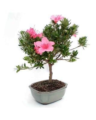 Vibrant Azalea Bonsai - Live Plant - Green Gift - Live Flowers - Fresh Flowers - Cut Flower Alternative - Ships Fast - 2nd Day Express by Windowbox (Image #1)