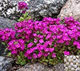 Arabis Caucasica Deep Pinkie 2, Rock Cress Evergreen Cushion Plant, Hanging Baskets, Rock Gardens, Containers, Balcony, Perennial, Sow Spring Or Fall, Bulk - Professional Growers, 925 Seeds