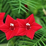 Outsidepride Red Cypress Vine Seeds - 100 Seeds