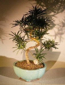 Flowering Podocarpus Bonsai Tree Curved Trunk Style - Large by Bonsai Boy (Image #1)