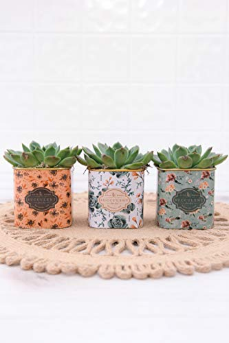 Mother's Day Live Succulents In 3-Inch Floral Tea Tin Containers (Set of 3), From Hallmark Flowers by Hallmark Flowers (Image #1)