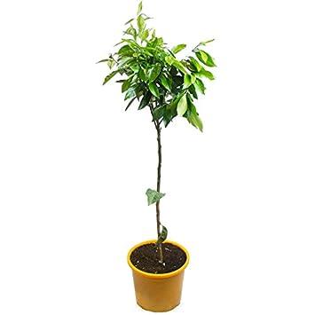 Naranjo - árbol en maceta de 5 litros