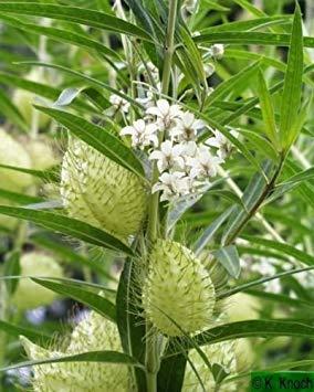GEOPONICS Asclepias physocarpa Gomphocarpus Family Jewels 10 Seeds