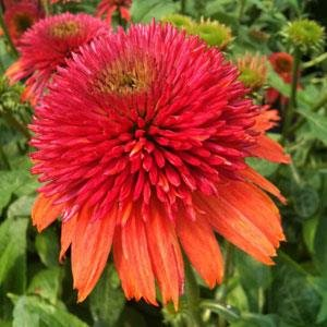 Grams Seed ((PCON)~DOUBLE SCOOP RASPBERRY CONEFLOWER~Seeds!!!~Peachy Pompons!)