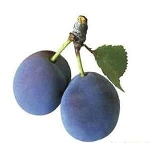 Premium Shop Vancouver Island Damson Plum Tree Plant -5 Seeds- Grow Your Own Purple Plums