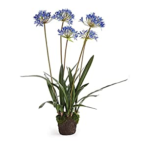 Napa Home & Garden Conservatory 40'' AGAPANTHUS Drop in 11