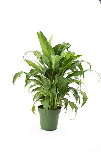 Burpee Spathiphyllum 'Sweet Chico' Peace Lily 4'' Pot by Burpee