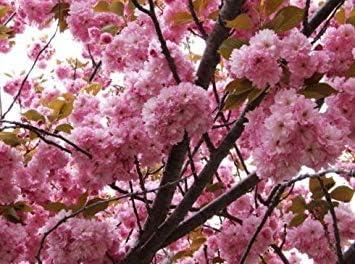 VISA STORE Frescas de cerezo japonés Sakura 100 semillas de Prunus serrulata Bonsai