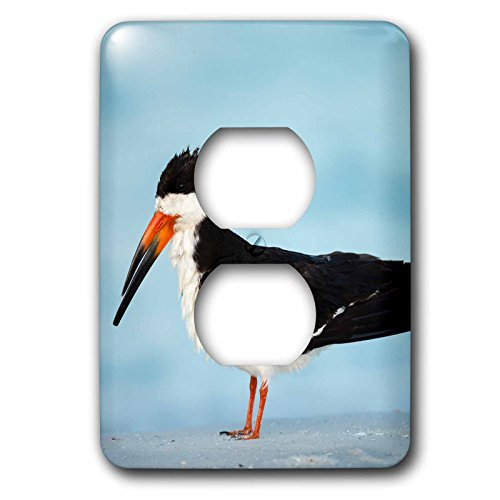 3dRose Danita Delimont - Bird - Black Skimmer resting along shore, Gulf of Mexico, Florida - Light Switch Covers - 2 plug outlet cover - Outlet Shores Gulf