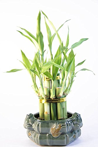 Athena's Garden BA-BT46-FIGPOT-PRSM Lucky Bamboo 2 Layer Tower, One Size, Green/Red/White (Green Bamboo Canes)