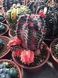 40 x gymnocalycium mihanovichii Variegata Cactus Succulent Seeds Variety Mix, Sold By Cactusplanet CACTUS Cacti Flowering Cactaceae Plant Succulent Agave Aloe Haworthia