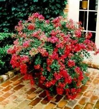 BATON ROUGE Patented Miniature Crape Myrtle, Pack of 5, Deep Red, Matures to 3'-4'( Shipped 1'-1.5' Tall, Well Rooted in Pot with Soil) by The Crape Myrtle Company (Image #3)