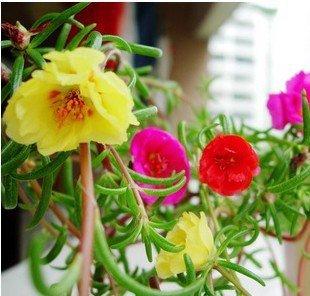 Pinkdosea Pinkdose Graines De Fleurs Graines De Fleurs De Rose Du