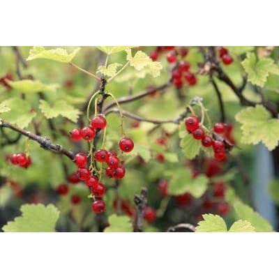 Red Lake Currant> Ribes rubrum 'Red Lake'> Landscape Ready 1 Gallon Container : Garden & Outdoor