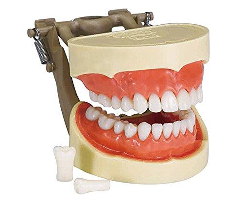 歯牙模型 ハードタイプ /7-3818-02 B07BL4Q4BJ