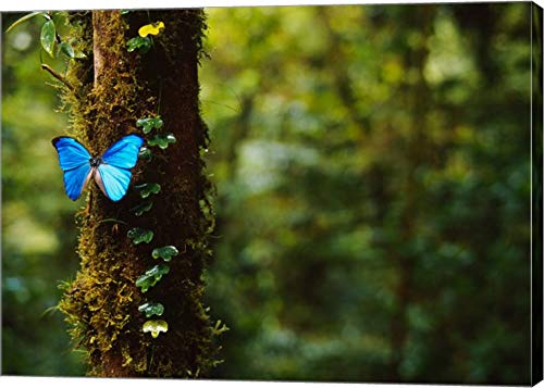 Blue Morpho Butterfly, Costa Rica by Panoramic Images Canvas Art Wall Picture, Gallery Wrap, 17 x 12 inches
