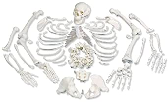 """3B Scientific A05/1 Disarticulated Full Human Skeleton with 3 Part Skull, 19.1"""" x 10.6"""" x 16.7"""""""