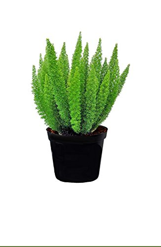 AMERICAN PLANT EXCHANGE Foxtail Fern Live, 1 Gallon, Indoor/Outdoor by AMERICAN PLANT EXCHANGE