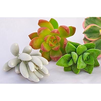 FATPLANTS 10 Living Succulent Cuttings : Garden & Outdoor