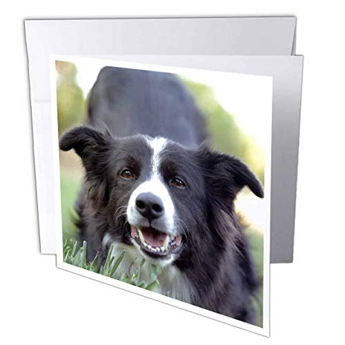 3dRose Stamp City - Animals - Photograph of a Border Collie with her Eyes on The Photographer. - 12 Greeting Cards with envelopes (gc_312215_2) ()