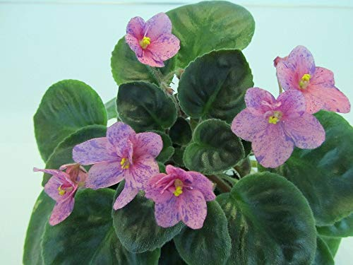 2 Yard Garden African Violet Plant Gum Drop Single-Semidouble Pink Pansy/Blue Fantasy TkViolet ()