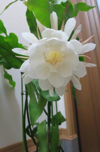 月下美人のお花 B06XC7STDN