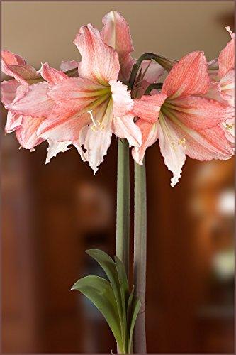 Amaryllis Bulb Pink Amaryllis Tinkerbell - 26/28cm Bulb - Outstanding Indoor Blooms!