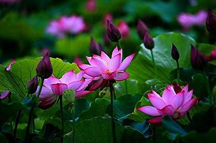Hudgle Lotus Mix Flower Seeds Pack Of 15 Seeds Purple Colors
