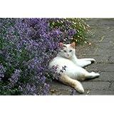 Herb Seeds - Catmint (catnip, cataria nepeta) 600 Seeds