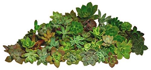 Fat Plants San Diego Gorgeous All Rosette Succulent Cuttings (50) by Fat Plants San Diego (Image #1)