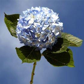 GlobalRose 40 Fresh Cut Blue Hydrangeas - Fresh Flowers For Weddings or Anniversary. by GlobalRose (Image #5)