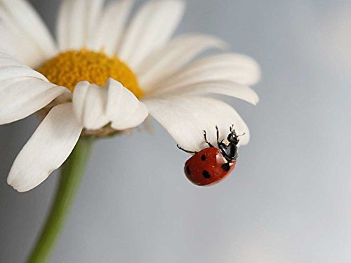(Daisy With Ladybug -Oil Painting On Canvas Modern Wall Art Pictures For Home Decoration Wooden Framed (12X16 Inch, Framed))