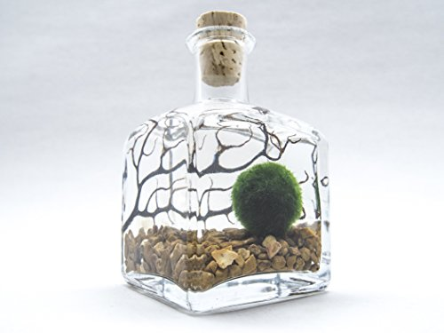 Terrarium Kit With Live Marimo Moss Balls - Small Glass Bottle Starter Set for Easy Indoor Plant Terrariums - Natural Centerpiece for Home Decor / Unique Gift Ideas by Aquatic Arts