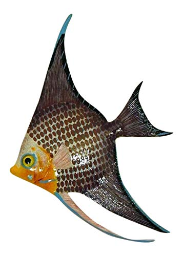Tropical Bright Colorful Marron Angel Fish Hanger 9X6 Inch Angw12
