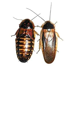 Adult Dubia Roaches 10 Females & 5 Males from Dubia Roaches