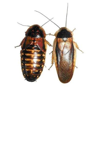 adult-dubia-roaches-20-females-10-males