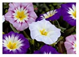150 Convolvulus Tri-Color Winch Fresh Seeds Garden Seeds Novelty K22