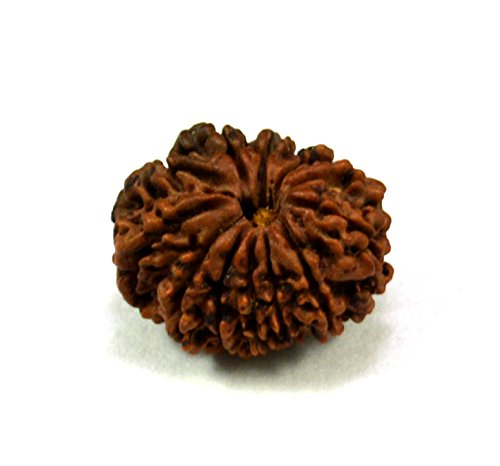12 Faced / Mukhi Natural Certified Rudraksha by Krishna Mart India