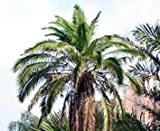 Plentree Seeds Package: 5 Seeds of Phoenix Rupicola Cliff Date Palm
