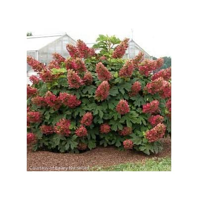 Ruby Slippers Hydrangea : Garden & Outdoor