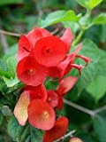 Holmskioldia Sanguinea - Red Chinese / Mandarin Hat - Rare Tropical Plant (5)