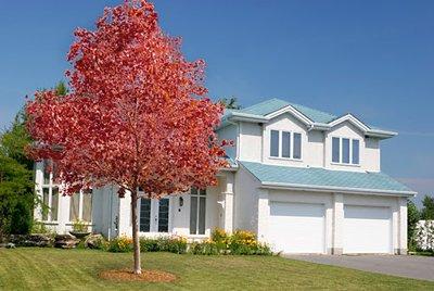 Autumn Blaze Maple Trees- Get Amazing Red Maple Color from these Potted Trees - Autumn Blaze Maple Tree