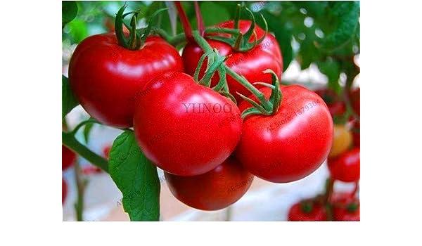 Bloom Green Co. Gran Promociã³n!Leche, Tomate Rojo, bonsái ...