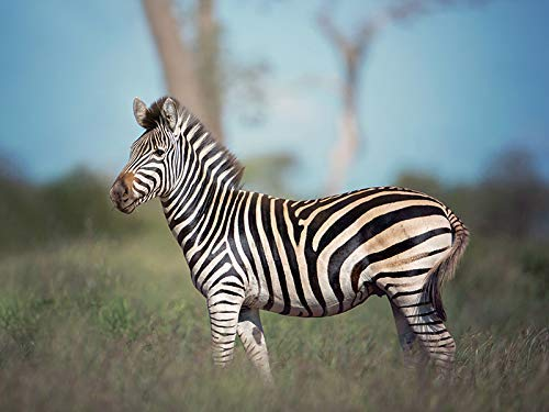 (Zebra Profile - Wildlife Photograph Animal Picture Home Decor Wall Nature Print - Variety of Size Available)